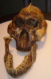 P. boisei's massive molars